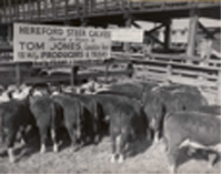 Hereford Steers, Bred by Frank J. Shaller
